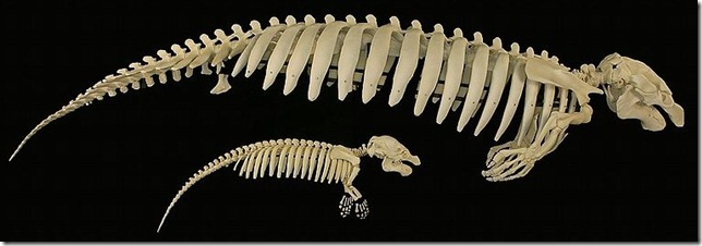 800px-Manatee_skeleton_with_calf