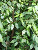 Christmas Bush Tea.Beez Neez Laura Spice Garden
