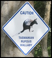 A Caution Wallaby