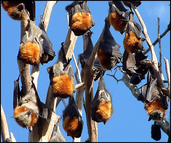 Justin Welbergen - grey headed flying foxes (2)