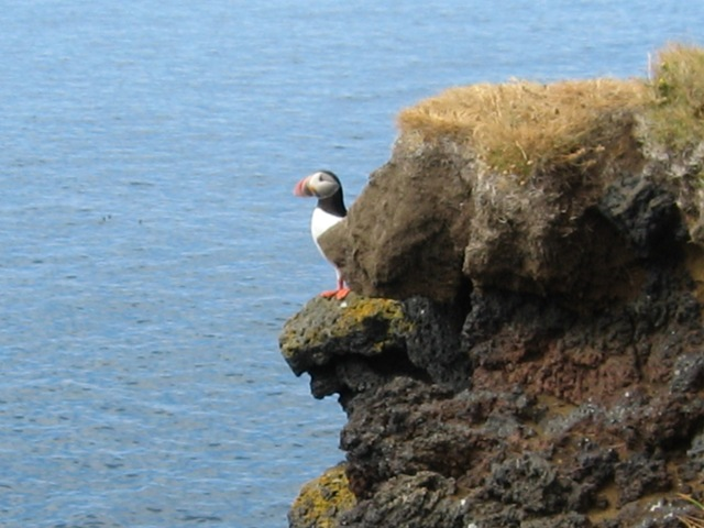 Puffin on the cliffs at the west coast of Heimaey
