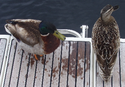 Cheeky ducks came onboard to beg bread