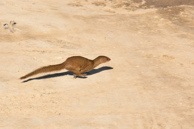 Mongoose (introduced           species)